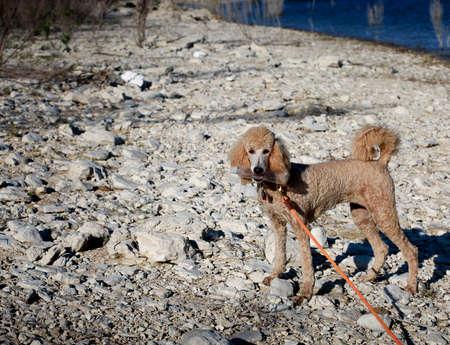reciclable: melocot�n joven perro de caniche de recoger la botella reciclable Foto de archivo