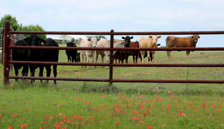 Farming: metal fence for livestock on spring flowered field.