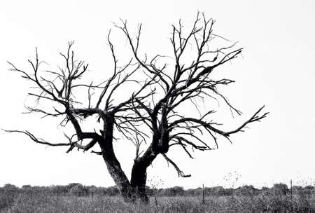 Dead tree isolated on white Stock Photo