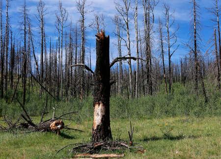 quemado: Bosque de árboles quemados Foto de archivo