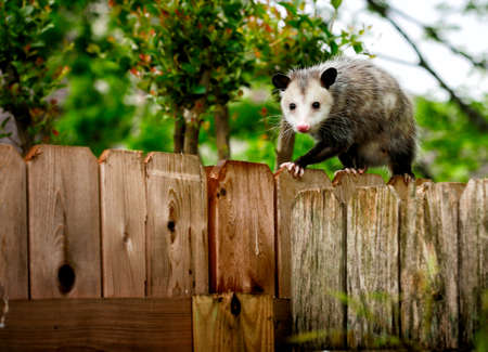 Common Opossum walking on new backyard fence 版權商用圖片