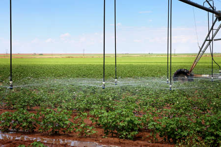 A cotton field irrigated with center pivot automated sprinkler system Stock Photo