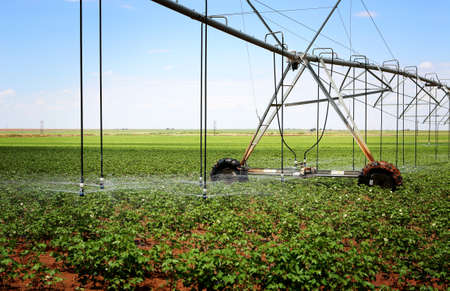 A cotton field irrigated with center pivot automated sprinkler system 版權商用圖片