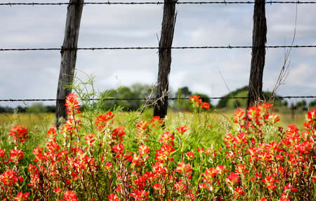 Rural background with red paintbrush flowers and old fashion barbwire fence, Texas country Imagens