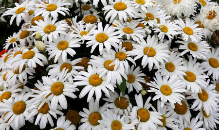Beautiful background of wild white daisies. Natural beauty. Standard-Bild - 104816089