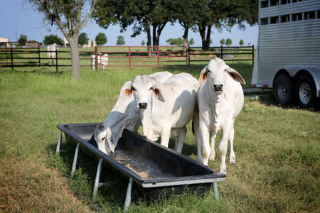 Brahman meat cows calf at Texas farm. Growing meet cows. Cattle supplementary feeding.