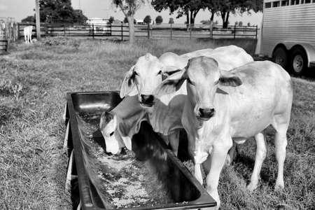 Brahman meat cows calf at Texas farm. Growing meet cows. Cattle supplementary feeding.