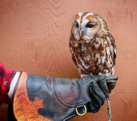 Tawny Owl sits on a handler's leather glove. Wye Marsh Wildlife Centre,  Ontario, Canada