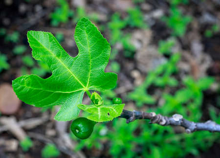 Macro shot of young  little figs and new leaves on a branch of old fig tree.