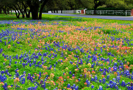 Bluebonnets, Texas national flowers,  and Indian paintbrush along the country road.