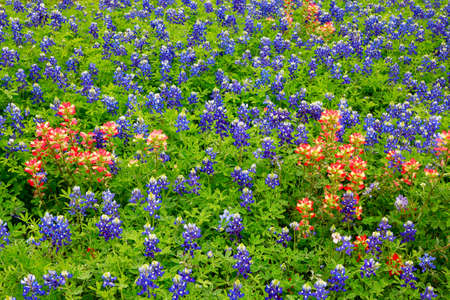 Bluebonnets, Texas national flowers,  and Indian paintbrush background