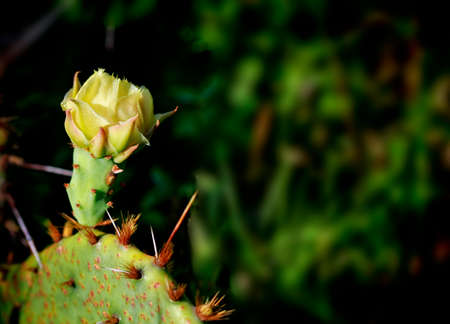 Close up of blooming cactus. Texas wild flowers: yellow cactus flower on blur background.