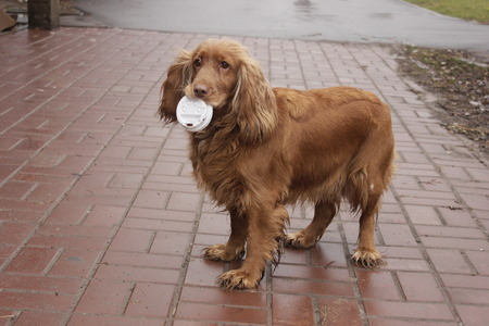 cap hunting dog: hunting dog Cocker Spaniel in the teeth with a cap from a glass Stock Photo