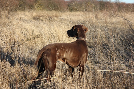 hunting dog shorthaired pointer pointing at the bird Stock Photo