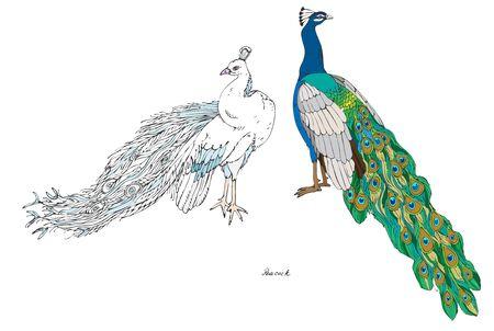 Due pavoni, semplici e bianchi, illustrazione vettoriale a colori. Disegno a mano di uccelli tropicali. EPS10