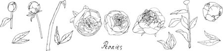 Leaves, stems and inflorescences of peonies vector illustration. Black and white picture of flowers. EPS10 Ilustracja