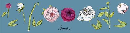 Leaves, stems and inflorescences of peonies or roses vector illustration. Picture with pink, purple and white flowers on blue background. EPS10