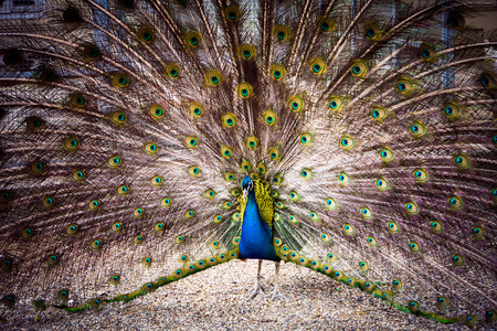 spreads: The peacock spreads its tail