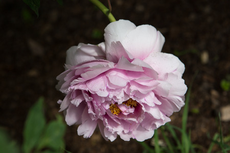 blossoming: Blossoming peony