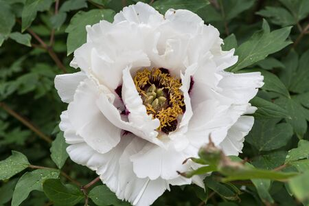 widely: Widely opened flower of peony Stock Photo