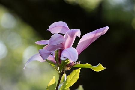 tender tenderness: Flower of lily like magnolia tree in the botanical garden of the Moscow University