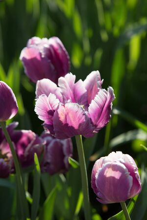 and magnificent: Magnificent pink and white tulips in the botanical garden of the Moscow University