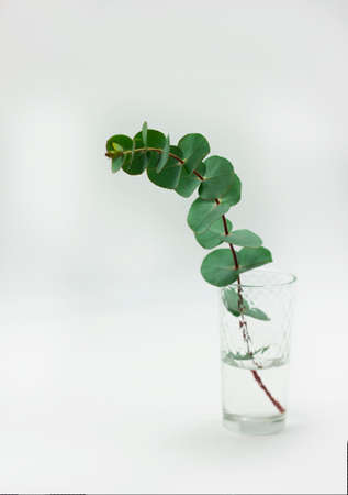 eucalyptus branches in glass with water on white background isolated Stok Fotoğraf