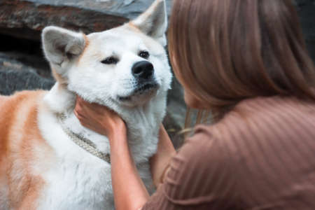 Japanese dog Akita inu portrait with young woman hands outdoors Stock Photo