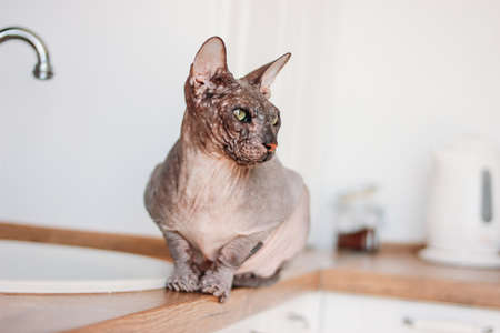 Purebred bald Sphynx cat grey tabby sitting on the kitchen Reklamní fotografie