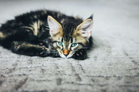 Small gray striped kitten Maine Coon several months lying on floor and looking at camera Stock Photo