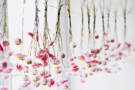Pink flowers dry on rope near window, natural background Stock Photo