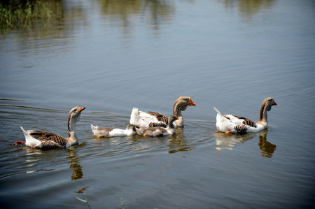 algeria: Geese swim in a rustic pond in the summer on a sunny day