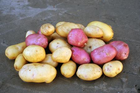 Розовый и белый картофель местных сортов, выращенных на экологической ферме с использованием натуральных органических удобрений из коровьего и куриного навоза