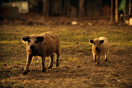Big boar takes care of a little pig in its yard in a village on a winter day