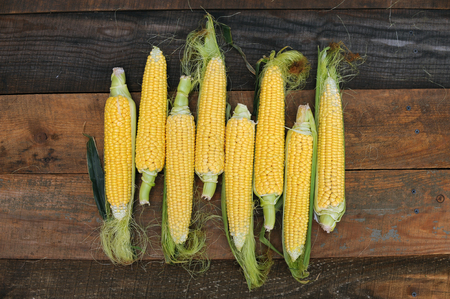Young corn dairy ripeness, food varieties grown on an ecological farm away from the city, roads, factory emissions Фото со стока