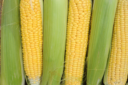 Young corn dairy ripeness, food varieties grown on an ecological farm away from the city, roads, factory emissions Stock Photo