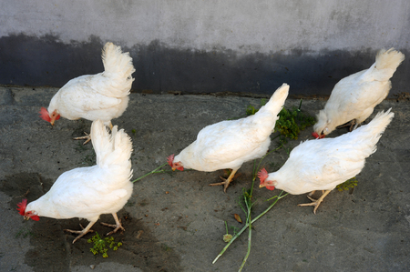 Curious chicken of Legorgon breeds peck what's left after taking pictures on an ecologically clean rural farm Фото со стока