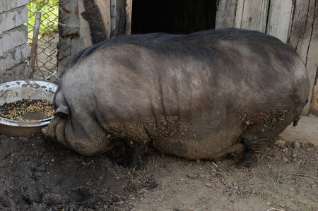 A large Vietnamese Vietnamese pig can not walk for a long time and sees only a bowl of food