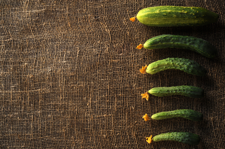 The first crop of cucumbers harvested on its home plot in early summer by beginning farmers
