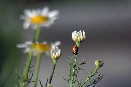 Цветы полевой ромашки после дождя в лучах заходящего солнца создают оригинальные текстуры, похожие на индийский ковер ручной работы Фото со стока