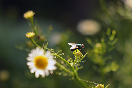 The fly sits on the chamomile flowers after the rain in the backlight of the setting sun Stock Photo