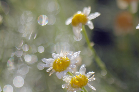 Flowers field chamomile after the rain in the rays of the setting sun create original textures