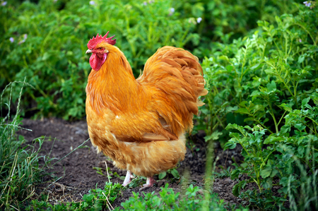 Close up view of a buff orpington chicken walking through the grass on rural farm