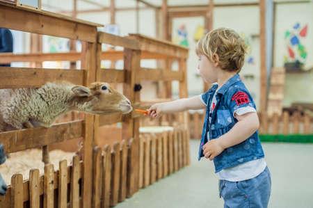 Toddler boy is feeding sheep on the farm