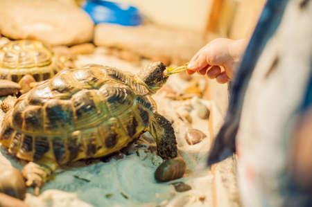 Tortoise eating leaves in the petting zoo 写真素材