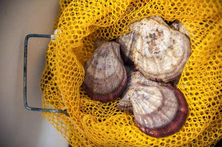 scallops: Three seashells with scallops in a fishing net Stock Photo