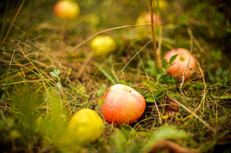 teeny: Apple tree with apples and fell on the grass apples Stock Photo