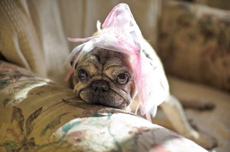 sad dog: pug dog with a pink bow on her head, sad in a chair Stock Photo
