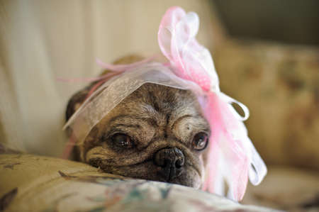 valentineday: pug dog with a pink bow on her head, sad in a chair Stock Photo