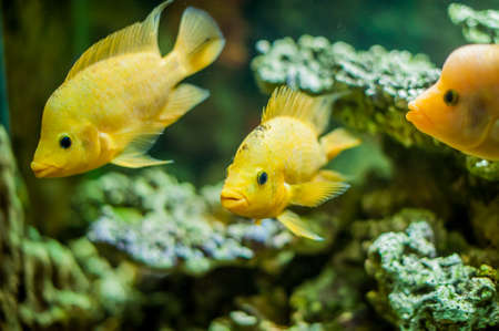 cyphotilapia: aquarium fish, cold sea, close up picture